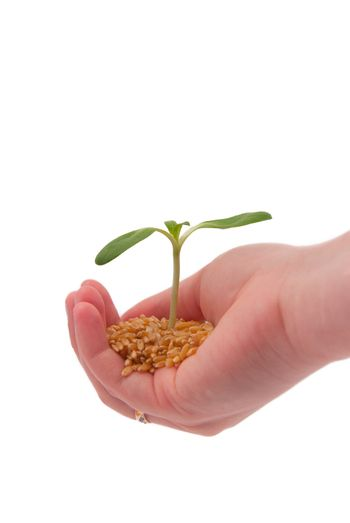 Young sprout in the hand, isolated on a white background