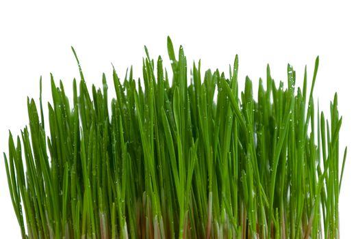 Bush of green grass on white background