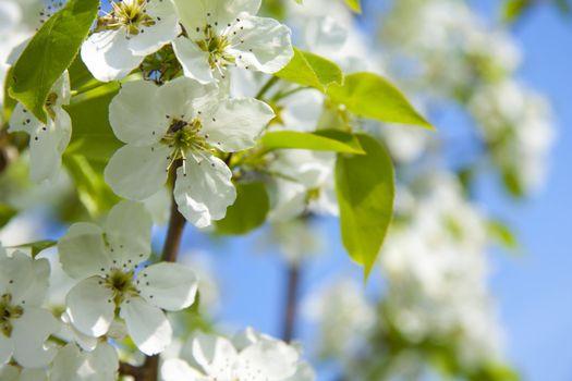 cherry flowers on a blue sky, sunlit