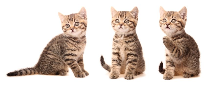 Scottish kitten in various poses