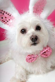 Pretty fluffy white dog in fancy bunny costume