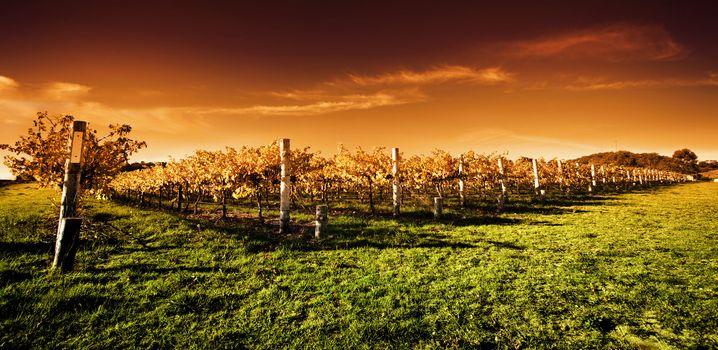 Golden Vineyard Sunset