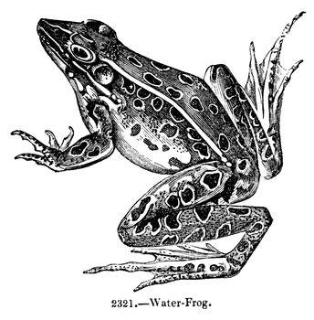 Antique Frog Engraving