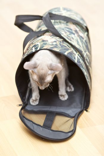 Hairless Cat in Carrier