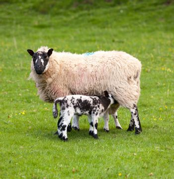 Two welsh lambs with black and white wool feeding from mother sheep