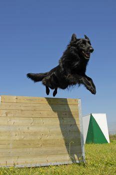 jumping black dog