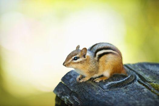 Cute chipmunk on log