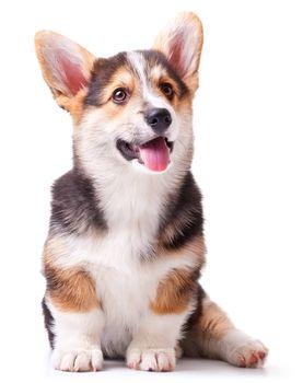 puppy dog breed Welsh Corgi, Pembroke on white