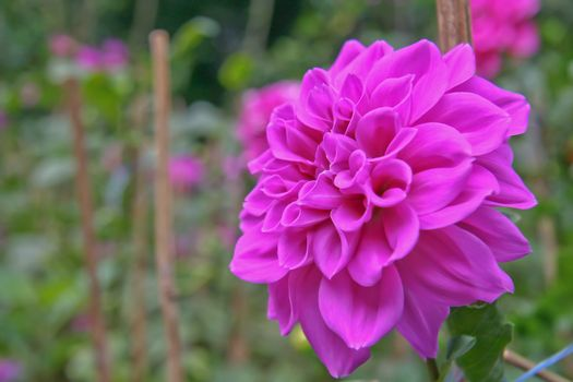 Violet dahlia flower in a garden