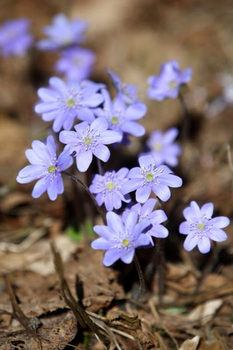 Hepatica Nobilis medicinal plants