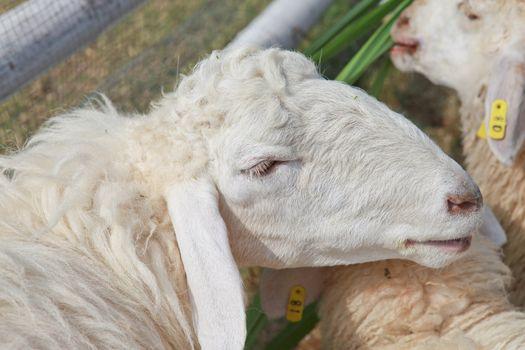 White sheep in a farm