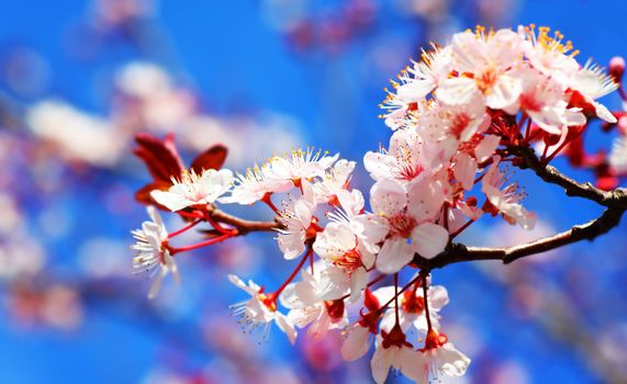 Cherry tree blossom flowers at spring over blue natural sky background