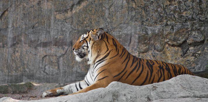 Sleepy Siberian Tiger resting in a zoo