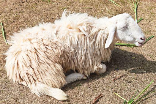 Sleepy sheep in a farm