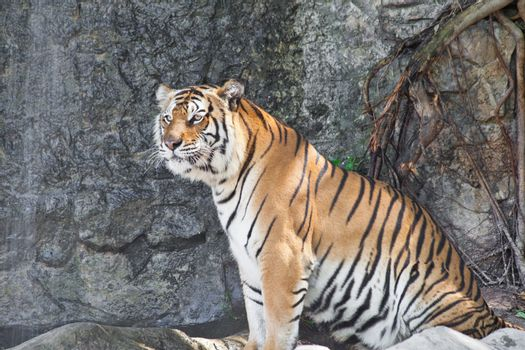 Siberian Tiger in a zoo
