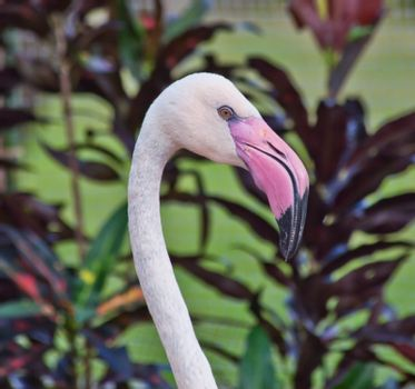 Close up Flamingo in a zoo