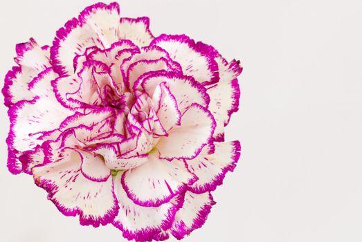 White purple carnation (dianthus caryophyllus)  against white background