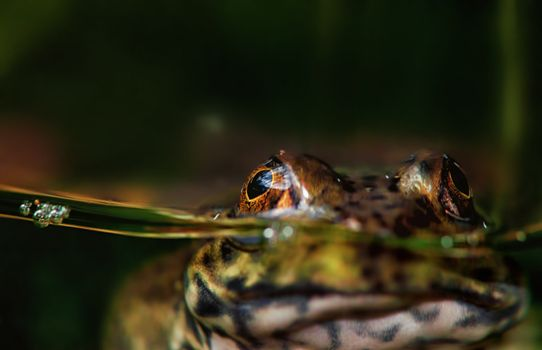 frog or toad in water
