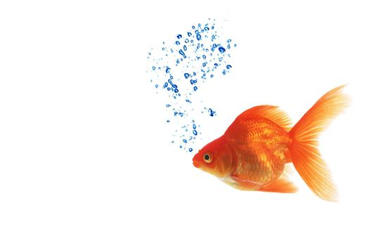 Isolated of the gold fish on white