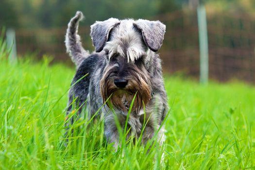 schnauzer in the grass