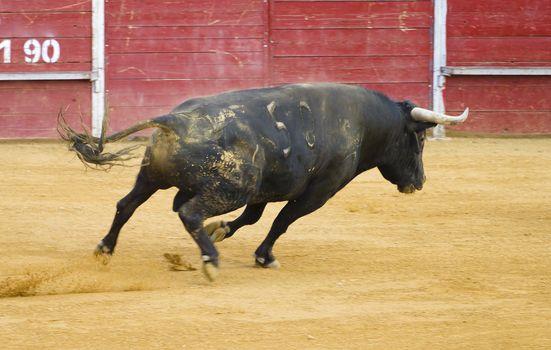 brave Spanish bull in a bullfight
