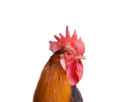 Isolated rooster portrait