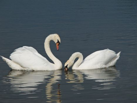 Two Swans, Cygnus olor