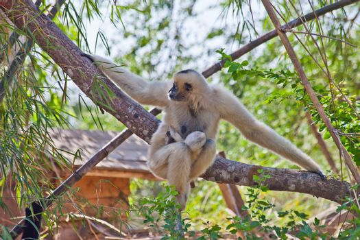 Precious specimen of Gibbon of golden cheeks with baby