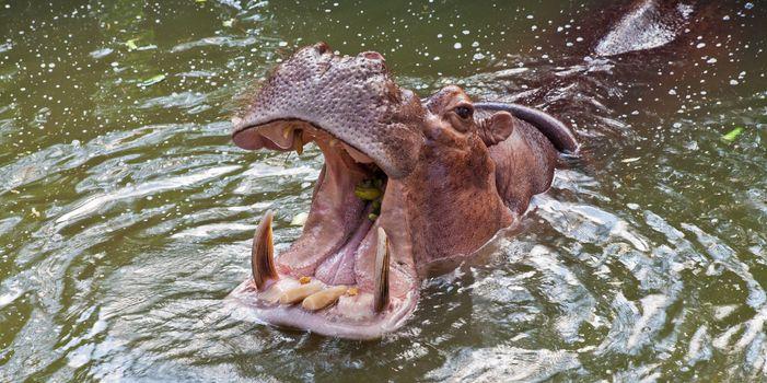 Hippopotamus in a zoo