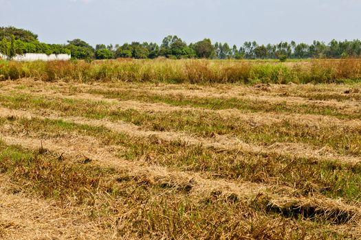 Prepared rice field in Thailand