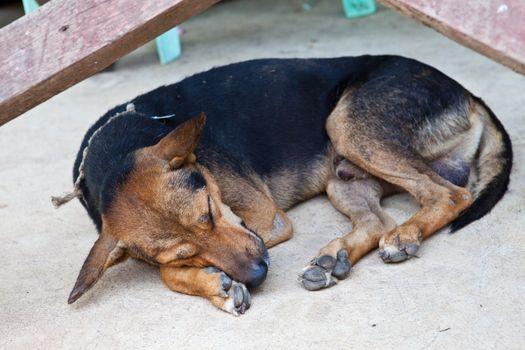 Thai dog sleeping