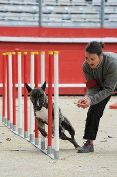 bull terrier in agility