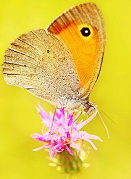 Beautiful yellow butterfly