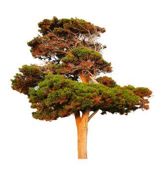 Big evergreen pine tree