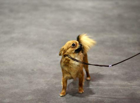 small cute dog - spitz