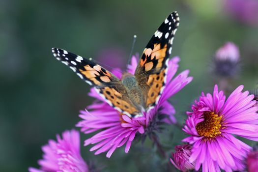butterfly (Painted Lady) sitting on flower (chrysanthemum)