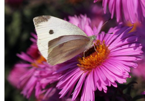 white cabbage butterfly sitting on flower (chrysanthemum)