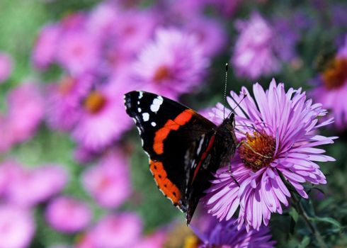 butterfly (Red Admiral) sitting on chrysanthemum