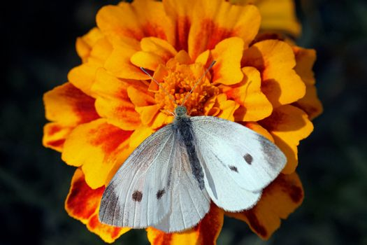 white cabbage butterfly sitting on flower (marigold)