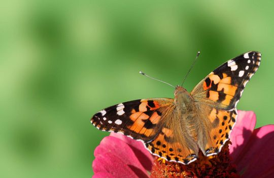 butterfly (Painted Lady) sitting on flower (zinnia)