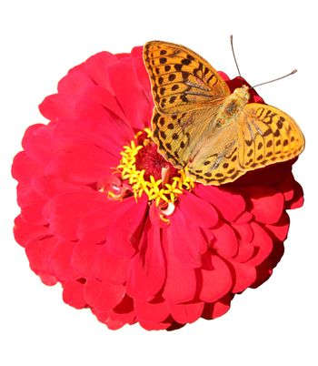 brown butterfly on red flower isolated on white
