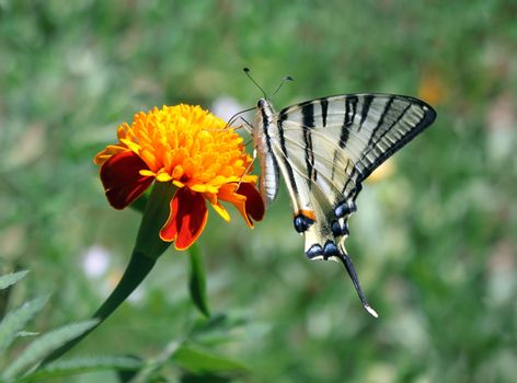 butterfly (Scarce Swallowtail) with opened wings on a flower