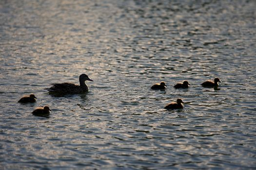 Six baby ducks swim with their mother backlit