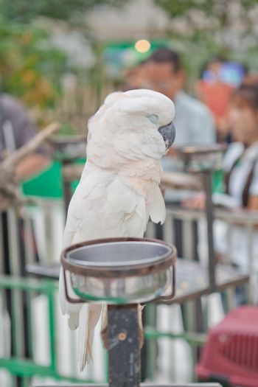 White parrot sleeping
