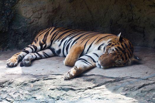 Bengal Tiger Sleep