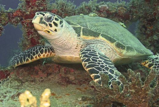 Seaturtle Resting on Shipwreck