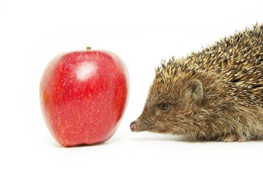 apple and hedgehog