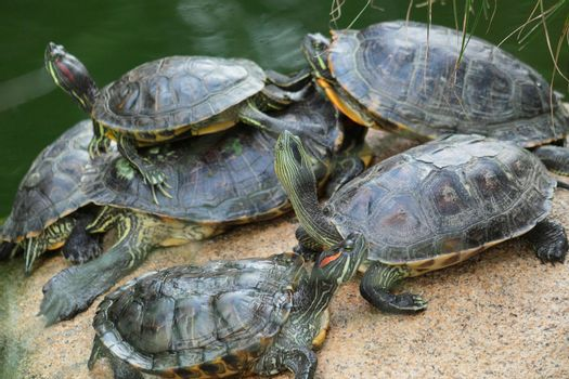Group of red-eared slider turtles sitting on a stone in the zoo
