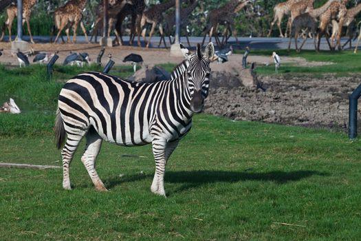 Zebra in an opened safari zoo