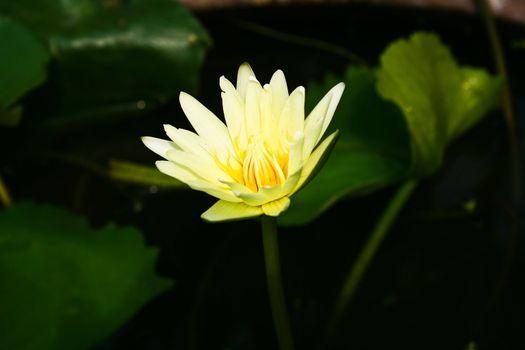 Yellow Lotus Blooming